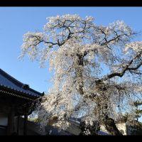 光林寺のしだれ桜, Исе