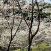 内山観音の桜, Матсусака