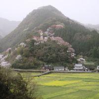 blossoms, Сузука
