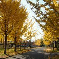 信州大学工学部の銀杏並木, Саку