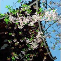 東大寺鐘楼, Сакураи