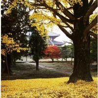 東大寺大仏殿 銀杏, Сакураи