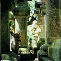 Deer in Nara, Сакураи