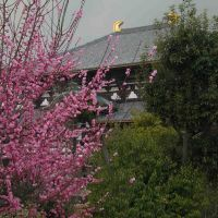 Todaiji Temple In spring 2003, Сакураи