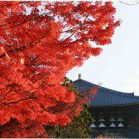 紅葉・東大寺大仏殿 Toudaiji Daibutsuden, Сакураи