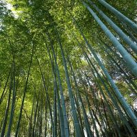 bamboo forest, Gishun-in Temple, Суита