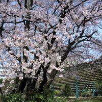 Urawa 白幡沼の桜, Вараби