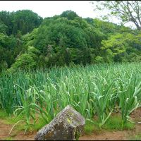 Green onion and garlic in Komagoe Hamlet, Ogawa Village, Иватсуки