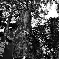 塩船観音寺 大スギ(都天然記念物) Shiohunekannonji Temple, Ханно