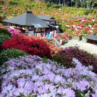Tsutsuji Flowers at Shiofune, Ханно