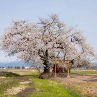 城戸集落の桜, Масуда