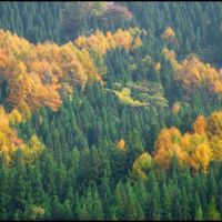 Green Cryptomerias and Yellow Larches, Мишима