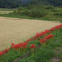 ヒガンバナ Red spider lily, Ода