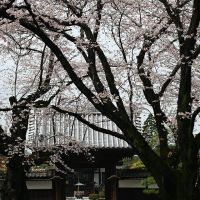 Cherry trees in full bloom in a Buddhism temple, Ояма