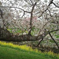 桜と菜の花, Мобара