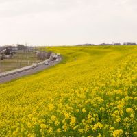 Rape blossoms in Edogawa embankment / 江戸川の菜の花, Нода