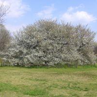 大島桜, Кодаира