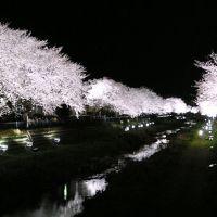 野川の桜ライトアップ Nogawa Cherry blossom Lighting, Митака
