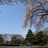 桜, Митака