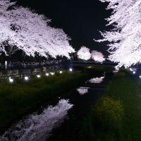 野川 桜ライトアップ2010, Митака