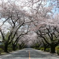 ICUの桜並木, Митака
