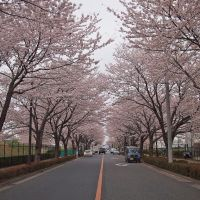 調布飛行場 桜並木, Митака