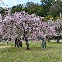 枝垂桜, Анан