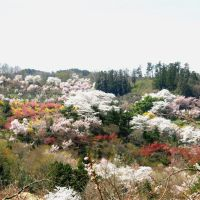 Sakura&Spring Flowers of Hanamiyama @ Fkushima Japan, Иваки