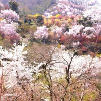 Japanese cherry blossoms  (sakura)of Hanmiyama @ Fukushima Japan, Иваки