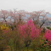 ハナモモ、レンギョウ、ヒガンザクラが綺麗! 花見山公園 2013.Apr., Иваки