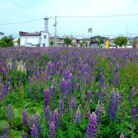 lupines field, Абашири