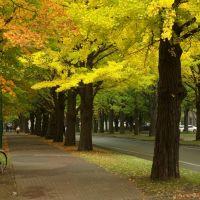 銀杏並木, Саппоро