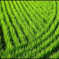 Lines and Curves in a Rice Field, Ашия
