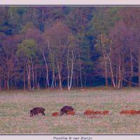 Wildezwijnen in Groenendaal, Апельдоорн