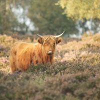 Schotse Hooglander op de heide bij Terlet, Апельдоорн