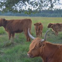 The new generation Scottisch cows at Deelerwoud can be seen at 17 August 2013, Апельдоорн