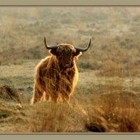 Schotsehooglander in Deelerwoud, Арнхем