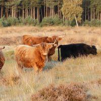 Schotse Hooglanders op de Terletseheide, Арнхем