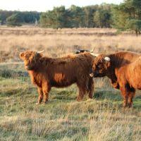 Terletseheide: Schotse Hooglanders, Арнхем