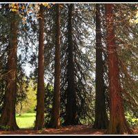 Mammoetbomen (Sequoiadendron giganteum), Реден