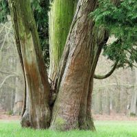 Reuzenlevensboom (Thuja plicata), Реден