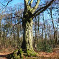BEUK , BEECH-TREE, Велсен