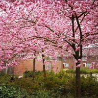 Japanese Cherry #4 - Prunus serrulata (Japanse sierkers) Burgemeester Moonsstraat, Ganzewinkel, Helmond, Хелмонд