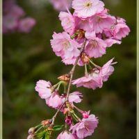 Japanese Cherry #1 - Prunus serrulata (Japanse sierkers) Burgemeester Moonsstraat, Ganzewinkel, Helmond, Хелмонд