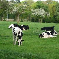 Hollandse koeien , Dutch cows, Зейст
