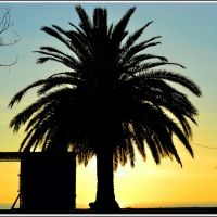 The palm tree silhouette. Autumnal evening in the Gagra., Гагра