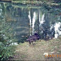 Black swan in Novy Afon, Новый Афон