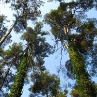 Роща пицундской сосны | Pinus pityusa grove, Пицунда