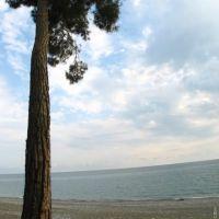 Пицундская сосна (Pinus pityusa), Пицунда