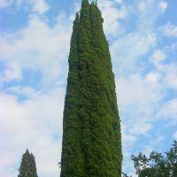 Кипарис, Пицунда
